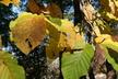 Magnolia acuminata - Cucumber Magnolia