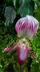 Paphiopedilum callosum f. giganteum