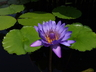 Nymphaea capensis - Cape Blue Waterlily