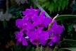 Guarianthe bowringiana var. splendens