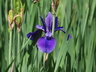 Iris sibirica 'Pansy Purple' - Siberian Iris