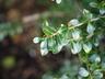 Ilex crenata 'Green Lustre' - Japanese Holly
