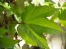 Parthenocissus tricuspidata 'Veitchii Robusta' - Boston-Ivy