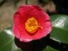 Camellia japonica 'Longwood Valentine' - Japanese Camellia