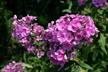 Phlox paniculata 'Eva Cullum' - Perennial Phlox