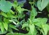 Ipomoea aquatica - Water-Spinach