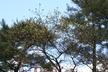 Cornus 'Eddie's White Wonder' - Flowering Dogwood
