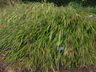 Hakonechloa macra - Hakone Grass