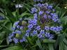 Scilla peruviana - Cuban-Lily