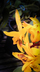 Guarianthe aurantiaca 'Miami'