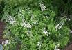 Baptisia alba - White Wild-Indigo