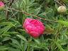 Paeonia 'Cytherea' - Hybrid Herbaceous Peony