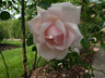 Rosa 'New Dawn' - Large-Flowered Climber Rose