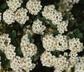 Spiraea x vanhouttei - Vanhoutte Spiraea