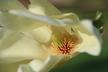 Magnolia 'Elizabeth' - Magnolia