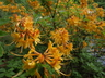 Rhododendron austrinum 'Austrinum Gold' - Florida Flame Azalea