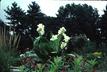 Canna 'Chesapeake' - Longwood Hybrid Canna