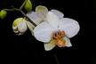 Phalaenopsis grex Barbara Stuart