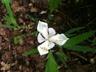 Iris cristata 'Alba' - Dwarf Crested Iris