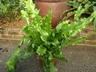 Polypodium punctatum 'Serratum' - Polypody