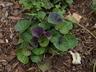 Viola labradorica - Labrador Violet