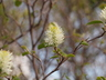 Fothergilla gardenii - Dwarf Fothergilla