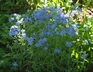 Phlox divaricata 'London Grove Blue' - Blue Phlox