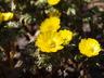 Adonis amurensis 'Fukujukai' - Amur Adonis