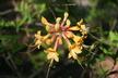 Rhododendron austrinum - Florida Flame Azalea