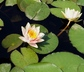 Nymphaea 'Comanche' - Hardy Waterlily