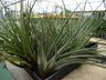 Tillandsia fasciculata - Wild-Pineapple