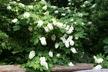 Hydrangea quercifolia - Oakleaf Hydrangea