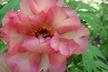 Paeonia 'Hesperus' - Hybrid Tree Peony