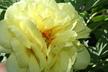 Paeonia 'High Noon' - Hybrid Tree Peony