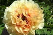 Paeonia 'Golden Mandarin' - Hybrid Tree Peony