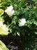 Paeonia 'Duchesse De Nemours' - Hybrid Peony