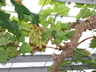 Vitis vinifera 'Rish Baba' - European Grape