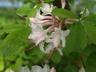 Rhododendron alabamense - Alabama Azalea