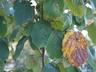 Hamamelis mollis - Chinese Witch-Hazel