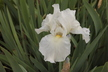 Iris 'Immortality' (Tall Bearded Group) - Tall Bearded Iris