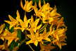 Guarianthe aurantiaca 'Flava'
