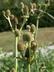Eryngium agavifolium - Agave-Leaved Eryngo