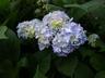 Hydrangea macrophylla 'Nikko Blue' (Hortensia Group) - Bigleaf Hydrangea