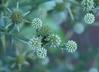Eryngium umbelliferum - Eryngo