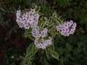 Phlox paniculata 'Norah Leigh' - Perennial Phlox