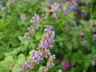 Nepeta 'Blue Beauty' - Catmint