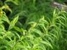 Lilium 'Nepal' - Asiatic Hybrid Lily