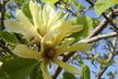 Magnolia 'Butterflies' - Magnolia