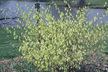 Corylopsis glabrescens - Fragrant Winter-Hazel