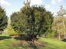 Taxus x media - Anglo-Japanese Yew